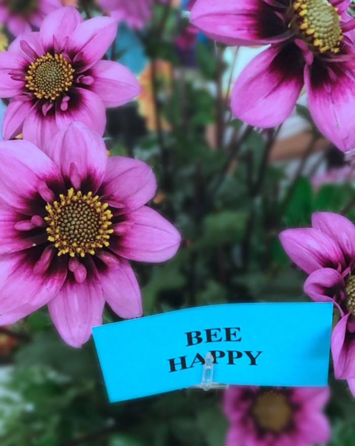 Bee Happy Dahlias