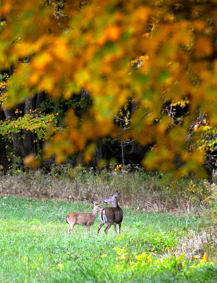 Deer stand at attention while grazing in a field off of Lindell Avenue in Leominster.