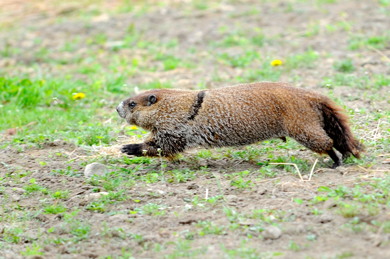 A groundhog runs through a field in Tewksbury, MA.