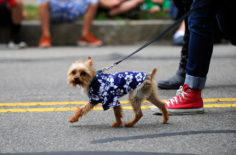 A dog dressed in a Hawaiian shirt walks down on Highland Ave. Wicked Local Staff Photo / Brett Crawford