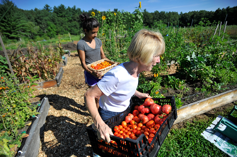 Needham resident volunteers Mary Brassard (near) and Anisha Mishra, 14, return from picking with a basket and crate full of tomatoes at the Needham Community Farm on August 19, 2014.  (Wicked Local Staff Photo / Brett Crawford)