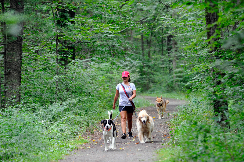 Vanessa Coogan, who works for Doggie Au pair (a company that pet sits, walks dogs and provides transportation to appointments), walks a group of dogs in the trails at Lowell Woods in Westwood on Friday, Sep. 4, 2015.(Wicked Local Staff Photo/Brett Crawford)