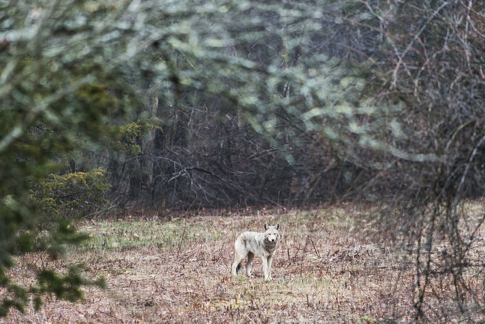 A coyote stands alert in a clearing at Willard Woods in Lexington on Friday, Mar. 25, 2016.
