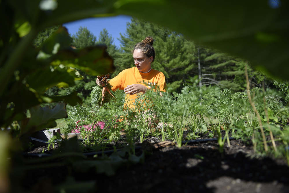 Lucy Campbell, 15, harvests carrots with Project VAN (Volunteers Around Needham) at the Needham Community Farm on Tuesday, July 19, 2016.