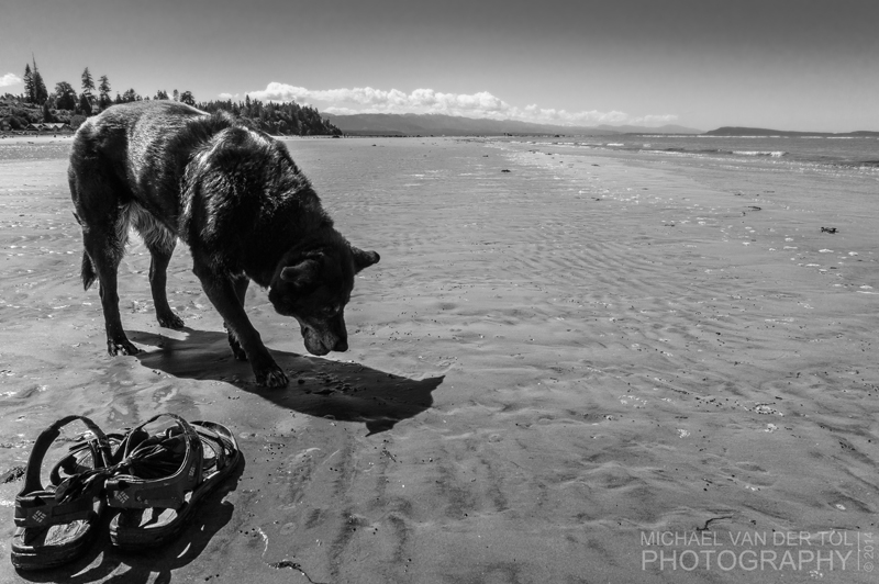 Chelsea the Dog digs for Horse Clams on Qualicum Beach, June 2014