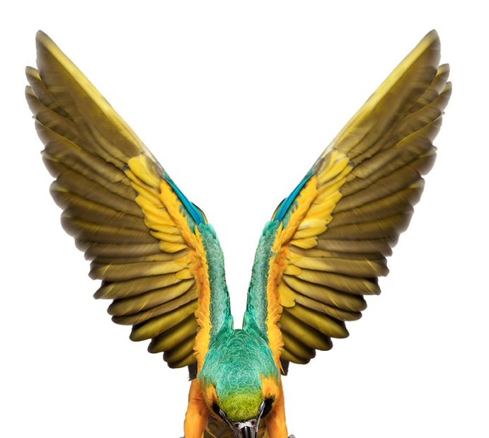 BlueYellowMacaw2.png