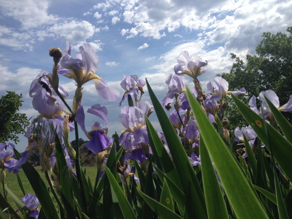 Lavender Iris in Oklahoma