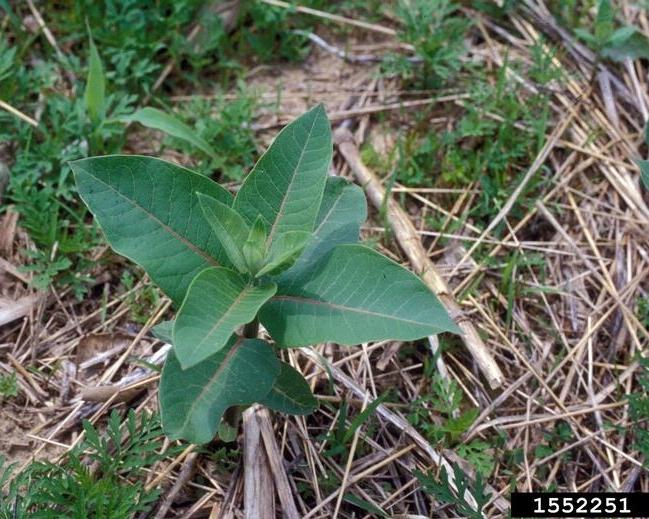 Milkweed-1552251.jpg