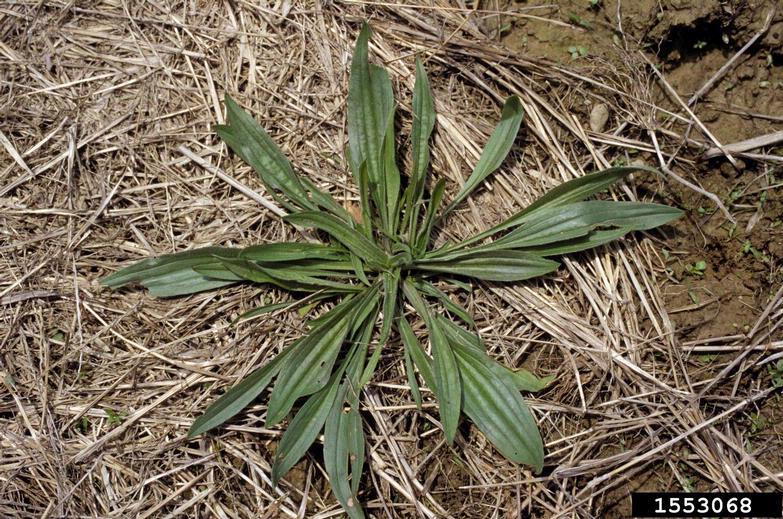 Plantain-1553068.jpg