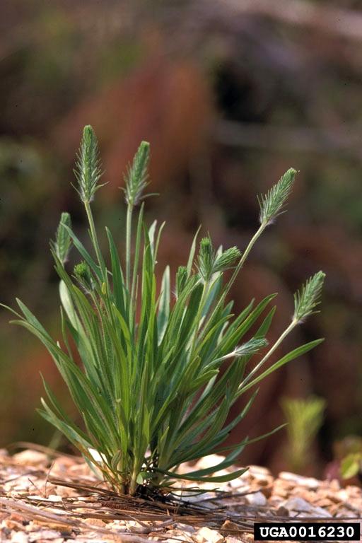 Plantain-0016230.jpg