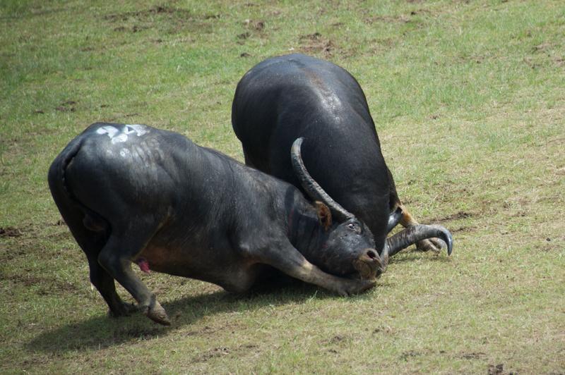 buffalo-59.jpg