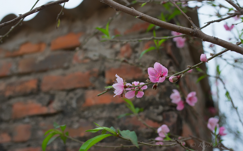 Blossom in the gardens of Hanoi