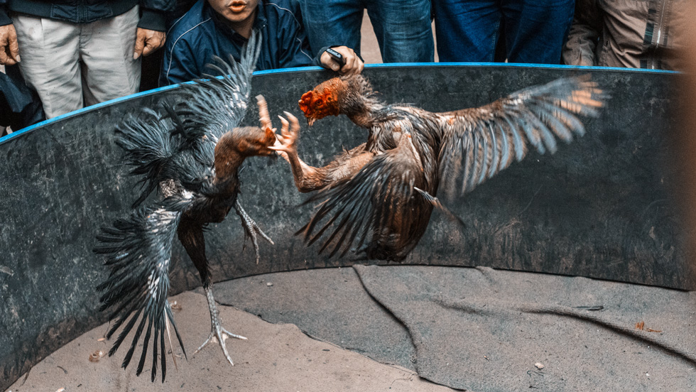 Rooster_Fight-15.jpg
