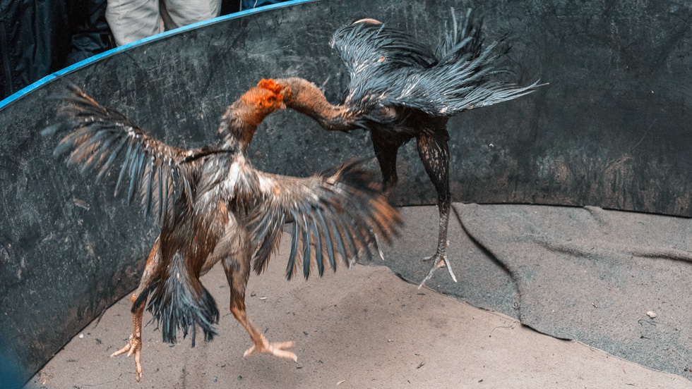 Rooster_Fight-16.jpg