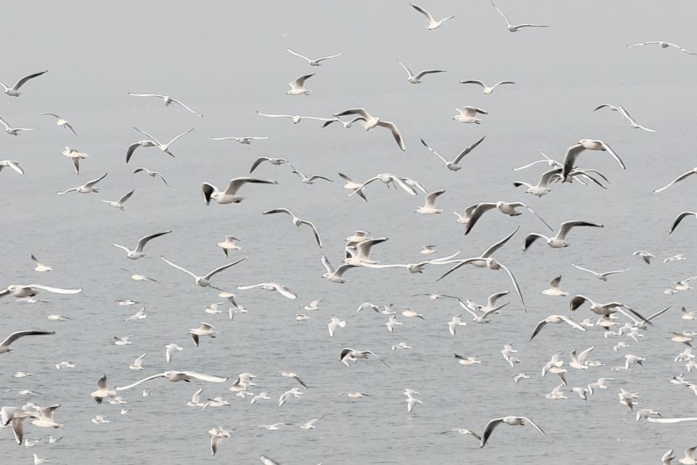 sea gulls at Marine Drive take two