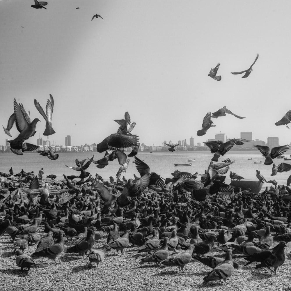 pigeon-3.jpg