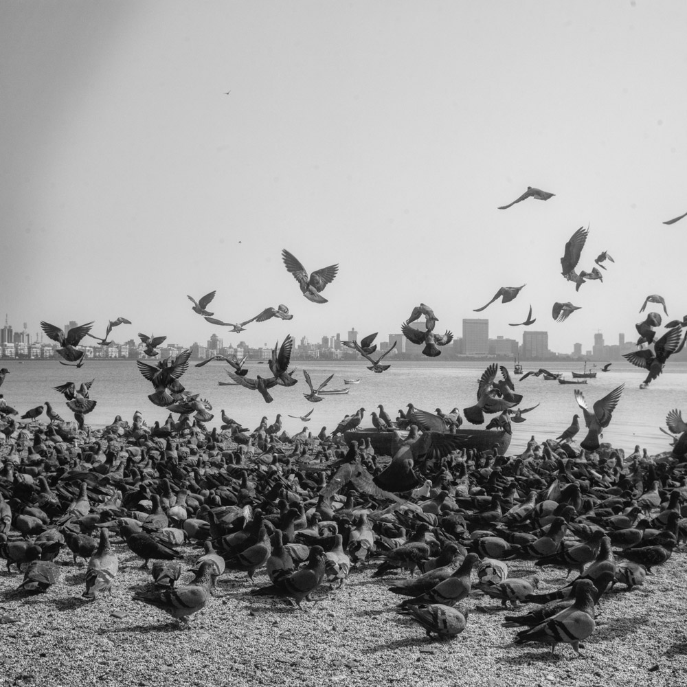 pigeon-4.jpg