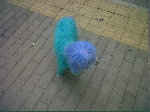 Two tone blue dog, Beijing. Why? JUST BECAUSE
