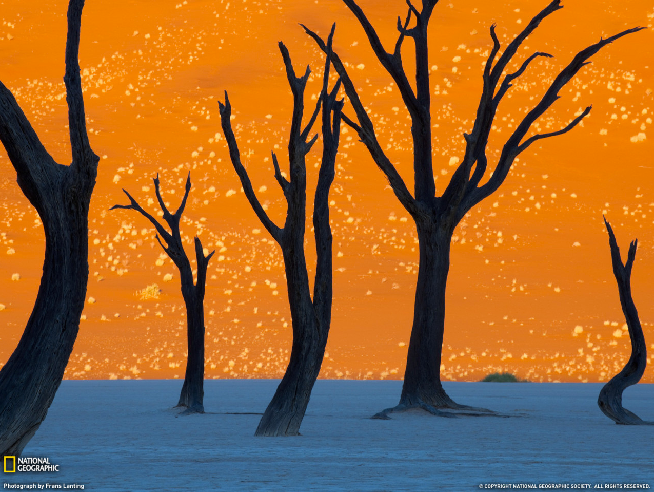 Wowser. This is a photograph, not a painting. Whenever you need inspiration, head to National Geographic. Incredible. Tinted orange by the morning sun, a soaring dune is the backdrop for the hulks of camel thorn trees in Namib-Naukluft Park.