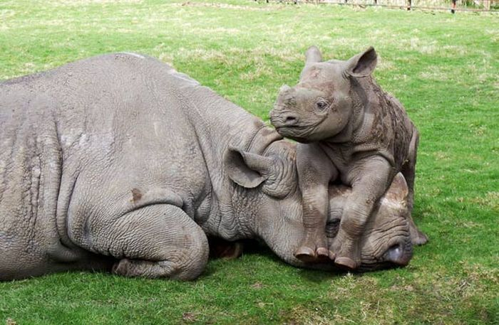 Moving away from the sadness of the last post, here is a really, really cute picture of a Rhino and her baby (turns our a baby rhino is a calf). Awwwww.