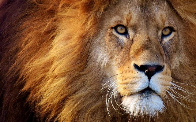 lion-3049884_640.jpg