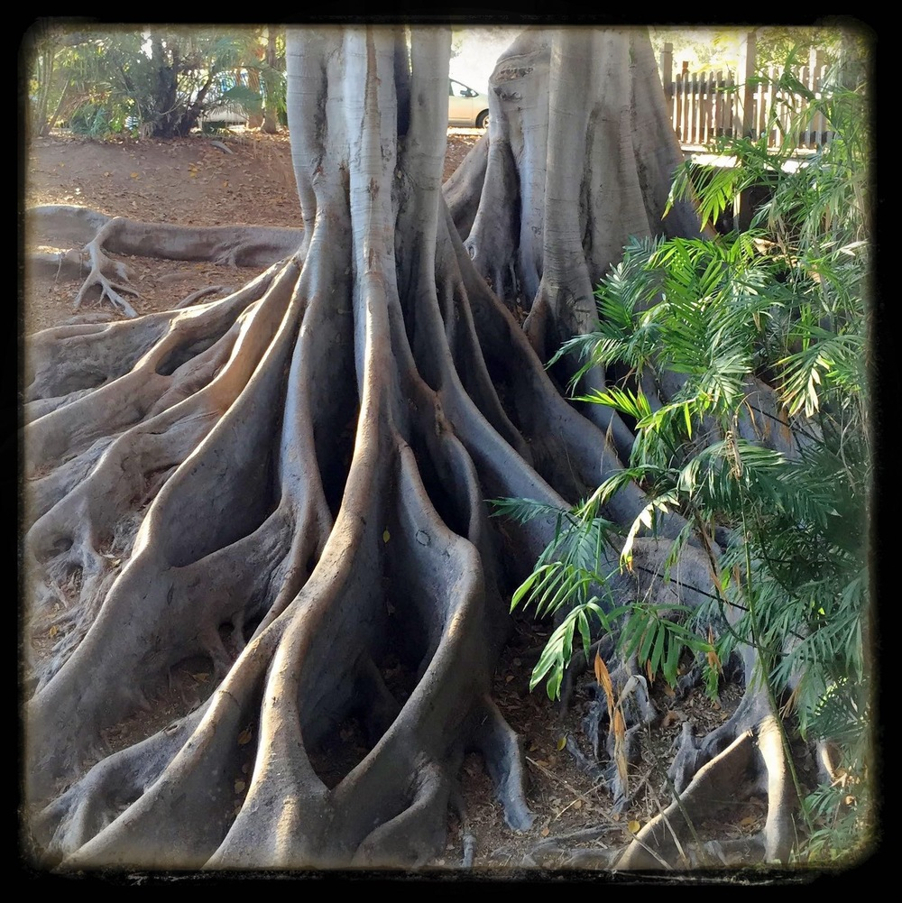 Giant Moreton Bay Fig Tree