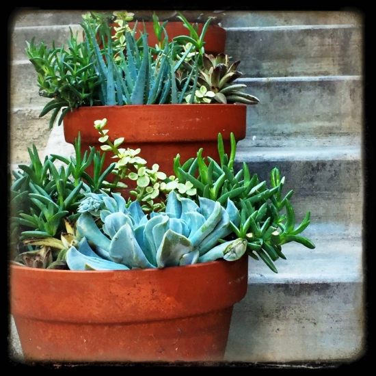 Potted Succulents in La Jolla