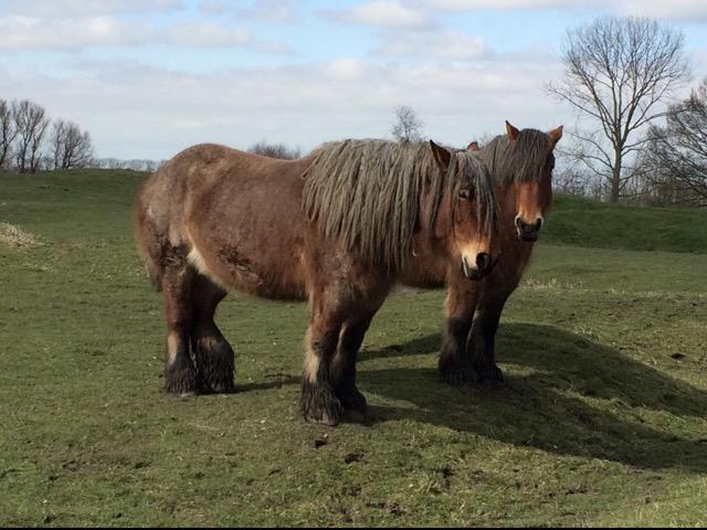 Belgian_draft_horse.jpg