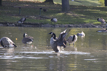 11 8 raw geese at firestone park mirror lake.jpg