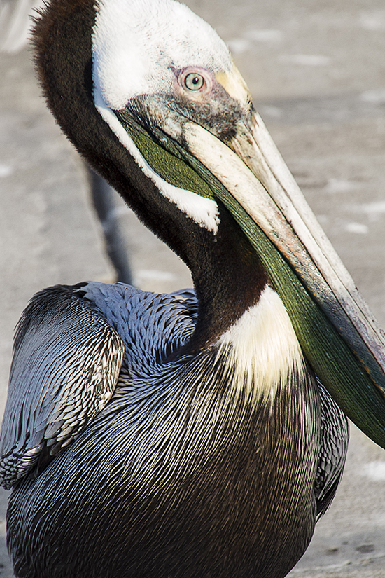 pelican in tampa florida cooked 1 24.jpg