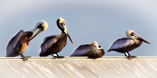 pelicans in tampa florida cooked 1 25.jpg