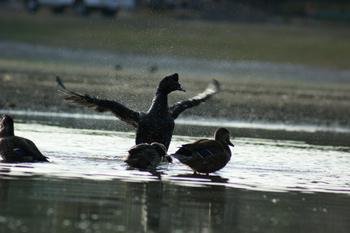 duck-raw.jpg