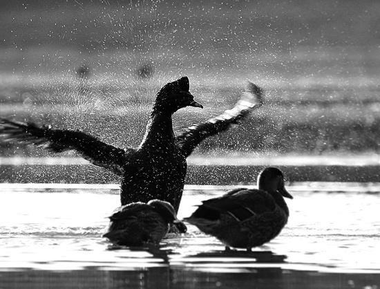 duck-cooked.jpg