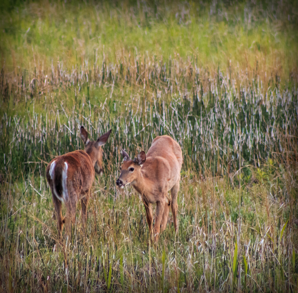 deer at headlands-1548.jpg