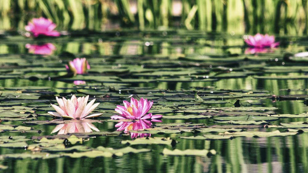 WaterLillies--5.jpg