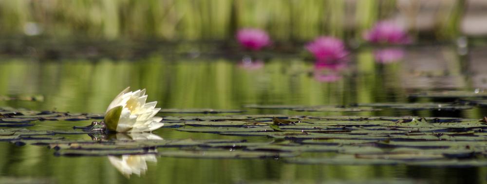 WaterLillies-0262.jpg