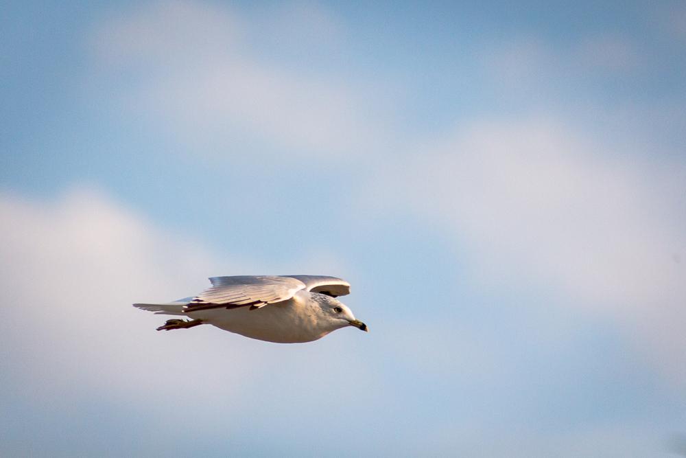 Gulls-3.jpg
