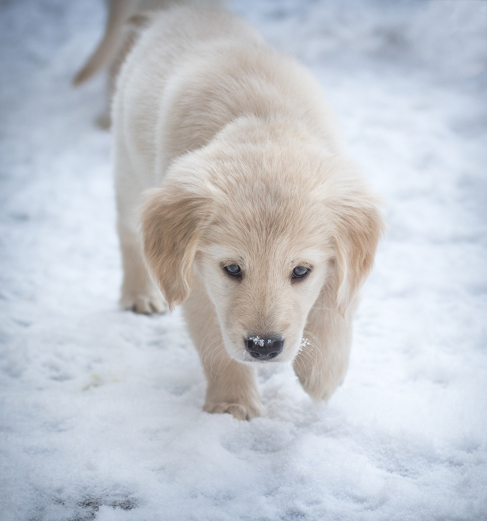 Roman - Golden Retriever (blonde)