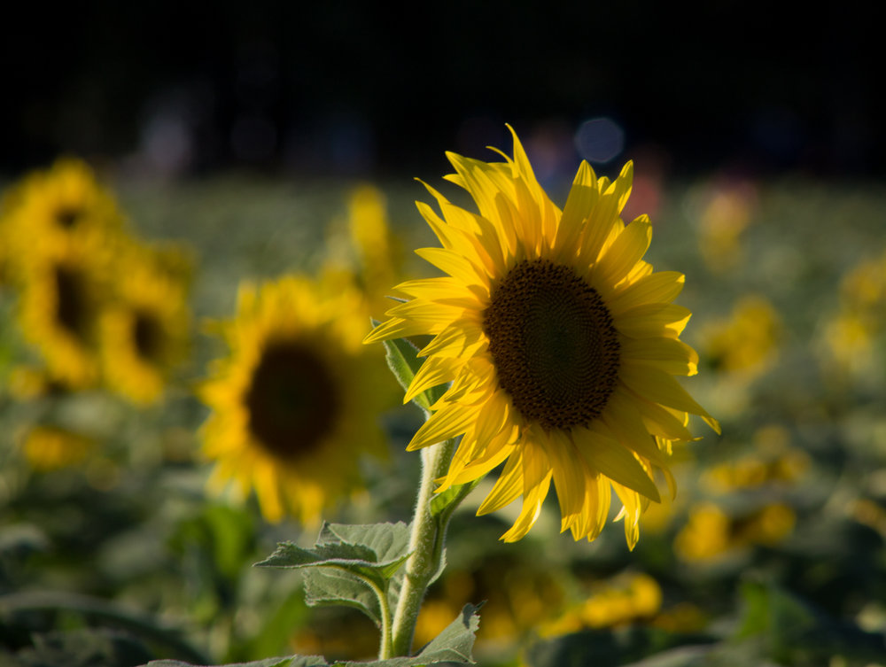 Sunflowers-107.jpg