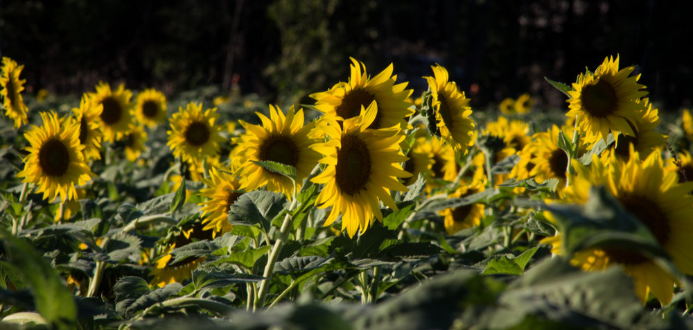 Sunflowers-106.jpg