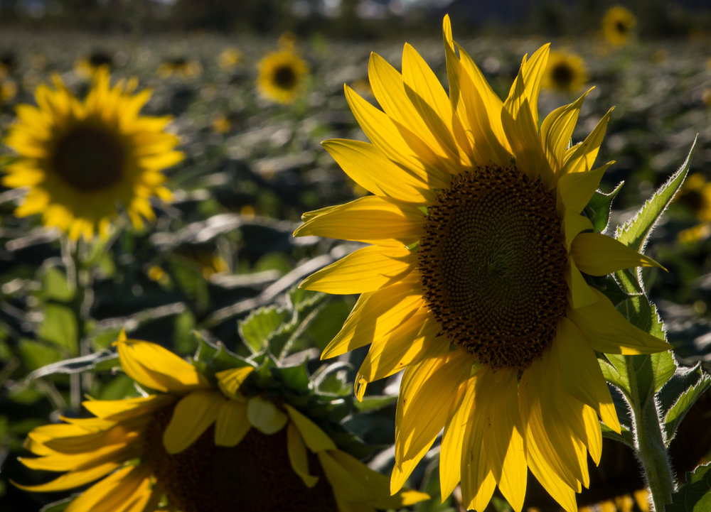 Sunflowers-105.jpg