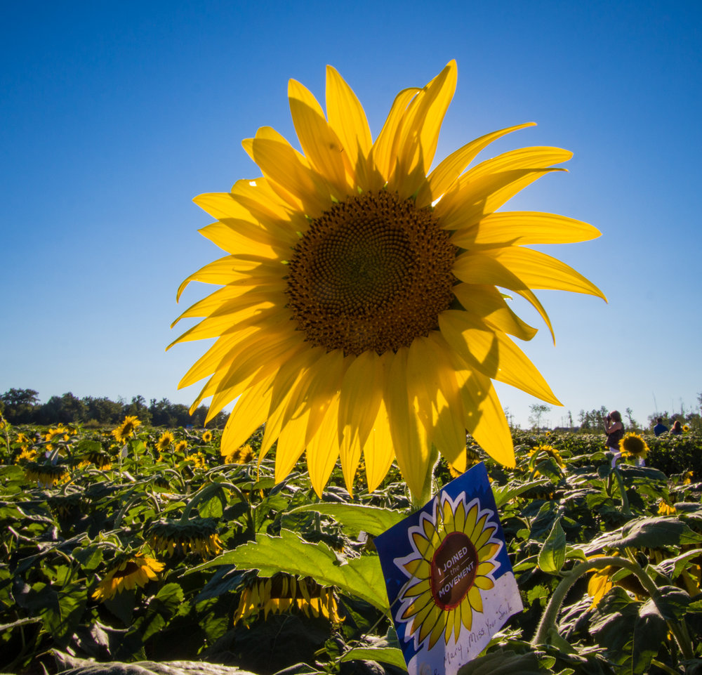 Sunflowers-103.jpg
