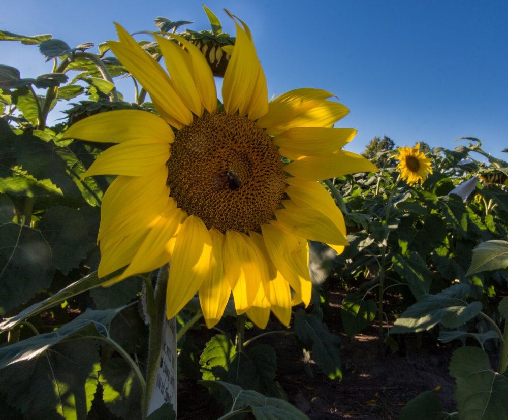 Sunflowers-104.jpg