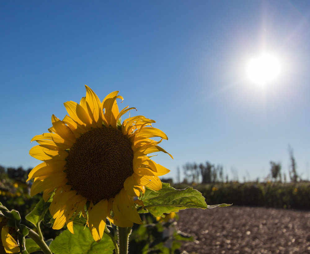 Sunflowers-101.jpg