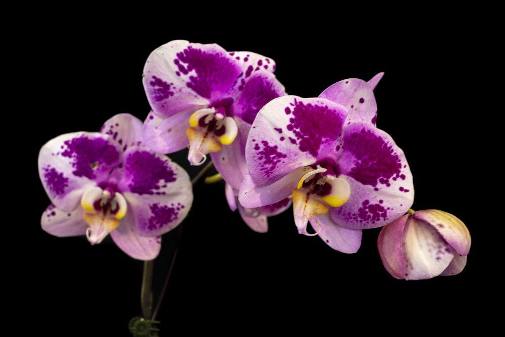 Orchids-28.jpg
