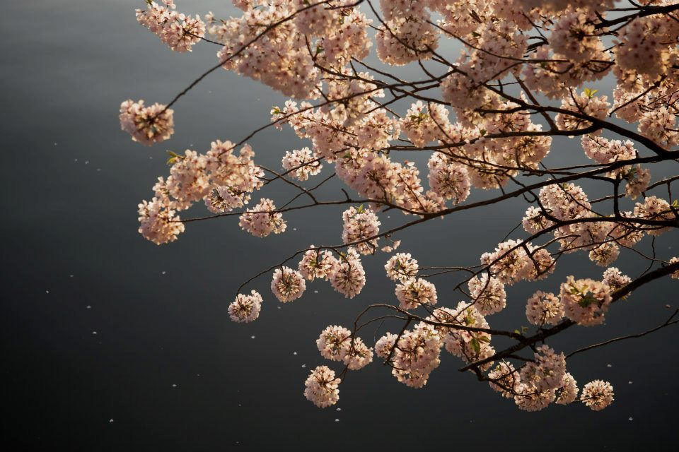 Cherry Blossoms by the water