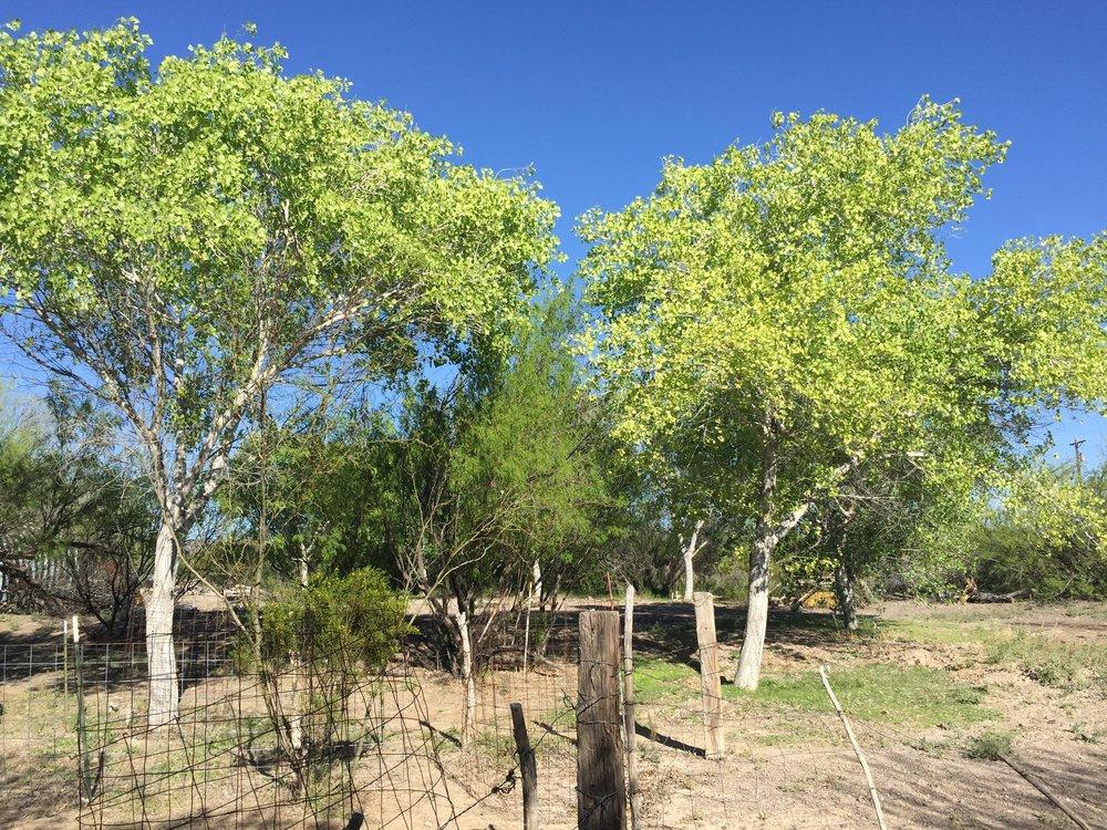 BBRSP2015LC-cottonwoods.JPG