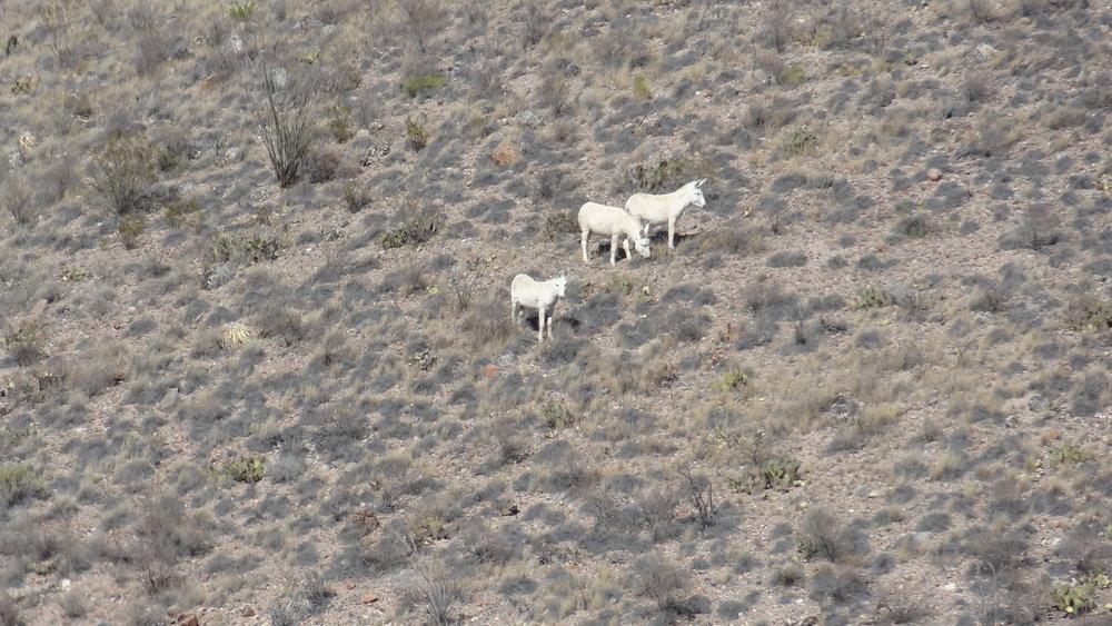 BigBendRanch2014-LC-3wt mules.JPG