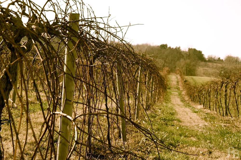 Landscape of Vines