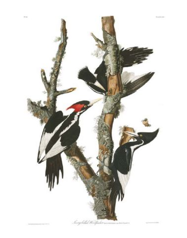 ivory-billed_woodpecker.jpg